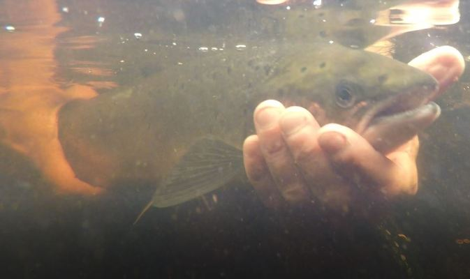 Salmon release 1